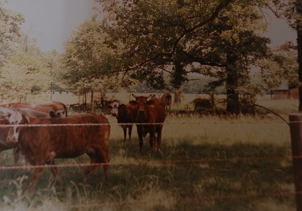 Cows Photograph - Cows by Rob Hans