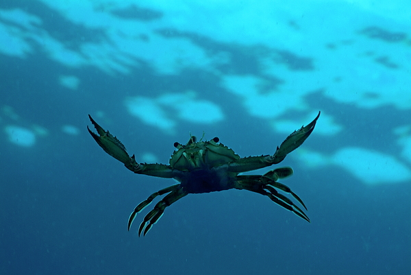Animal Photograph - Crab Swimming In The Blue Water by Sami Sarkis