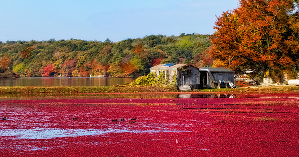 Cape Cod Photograph - Cranberry Juice by Gina Cormier