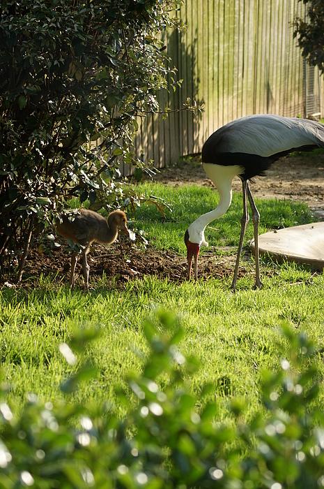 Cranes Photograph - Cranes by Tina McKay-Brown