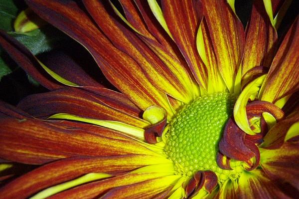 Flower Photograph - Cranium Drain by Kristine Nora