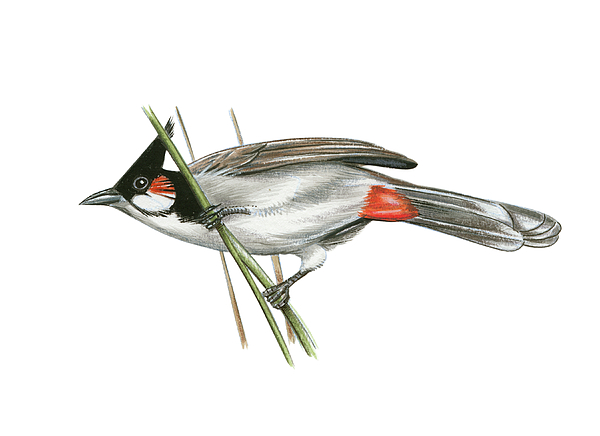 Crested Bulbul Drawing - Crested Bulbul by Lionel Portier