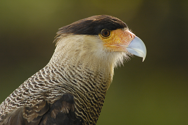 Mp Photograph - Crested Caracara Polyborus Plancus by Pete Oxford