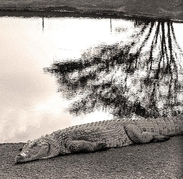 Crocodile Photograph - Crocodile Resting Time by Arik Baltinester