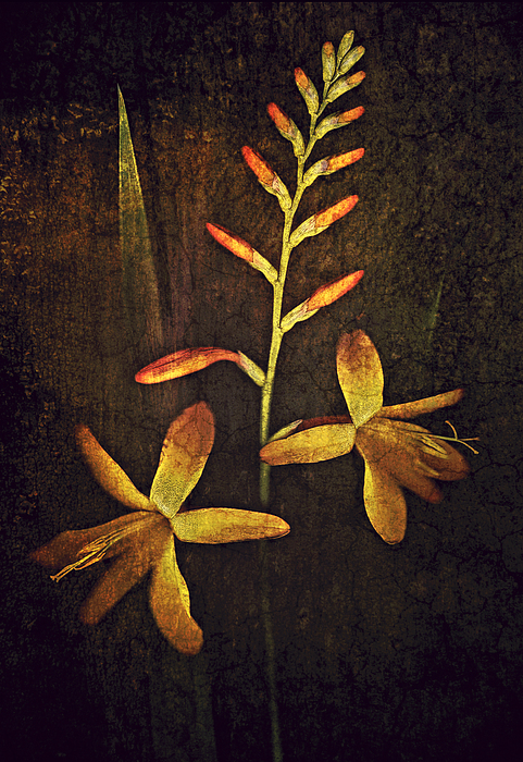 Floral Photograph - Crocosmia by Digital Crafts