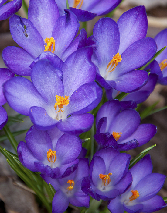 Brown Photograph - Crocuses by Tom McCarthy