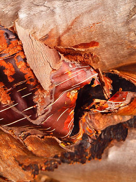 Nature Photograph - Curled Bark by Tara Turner