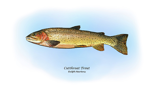 Cutthroat Trout Painting - Cutthroat Trout by Ralph Martens