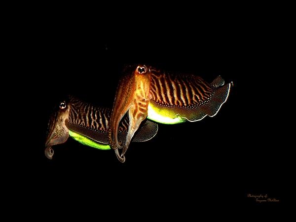 Woods Digital Art - Cuttlefish by Suzanne  McClain