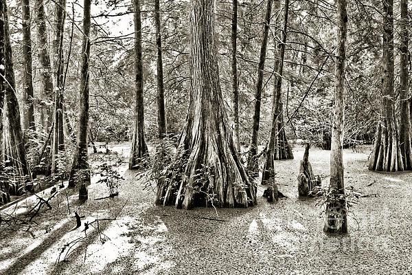 Cypress Trees Photograph - Cypress Evening by Scott Pellegrin