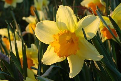 Daffodil Delight Photograph by Chris Jones