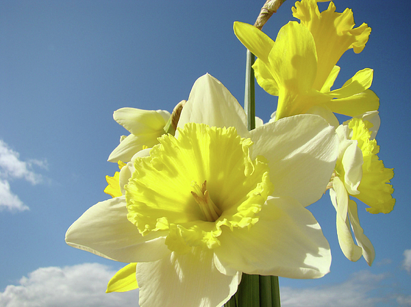 �daffodils Artwork� Photograph - Daffodil Flowers Artwork Floral Photography Spring Flower Art Prints by Baslee Troutman