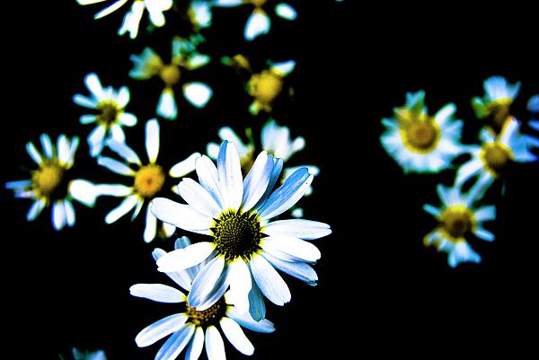 Daisies Photograph - Daisies by Grebo Gray