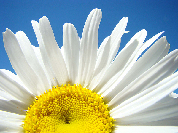 Daisy Photograph - Daisy Art Prints White Daisies Flowers Blue Sky by Baslee Troutman