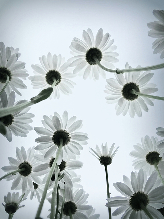 Vertical Photograph - Daisy Flowers Rear View by photograph by Anastasiya Fursova