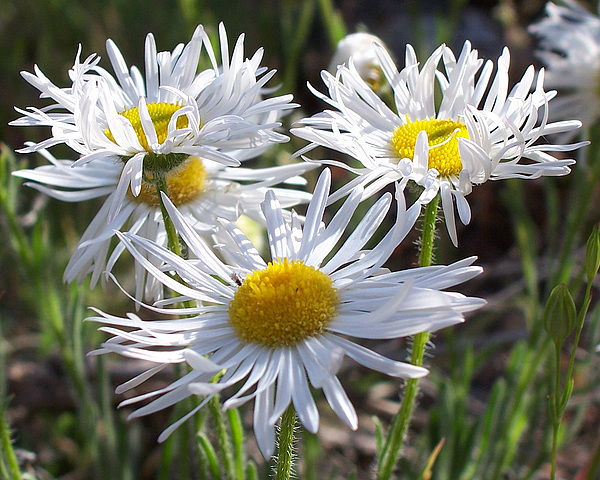 Asteraceae Photograph - Daisy In The Southwest by Sherry Vance