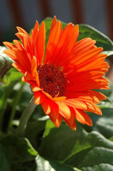 Daisy Photograph - Daisy by Kathy Schumann