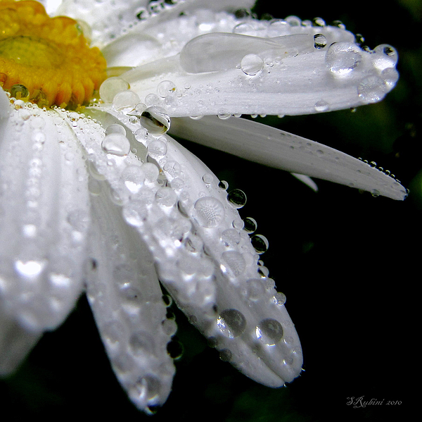 Daisies Photograph - Daisy Study No. 4 by Sandy Rubini