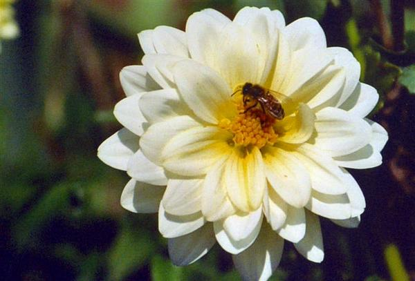 Flower Photograph - Dalhia And Bee by Kristina Scott