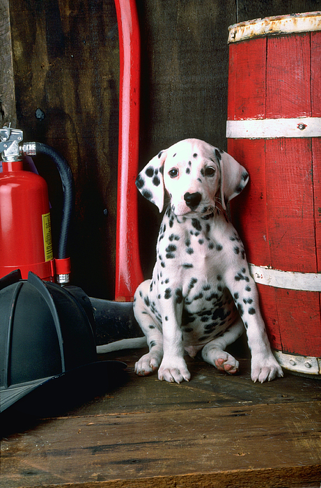 Barrels Photograph - Dalmatian Puppy With Firemans Helmet  by Garry Gay