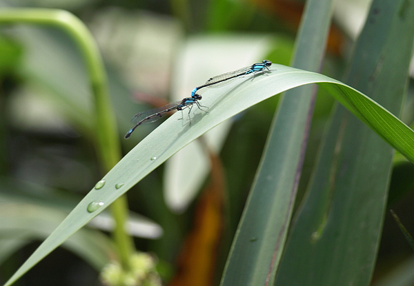 Damselfly Photograph - Damselflies by Katherine Huck Fernie Howard