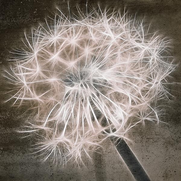 Dandelion Digital Art - Dandelion In Brown by Aimelle