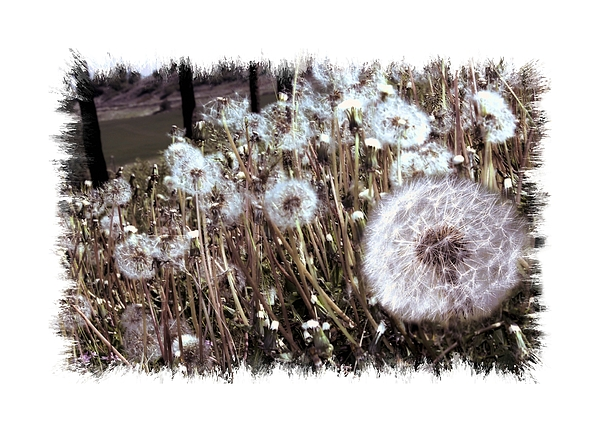 Wall Decor Photograph - Dandelion Wishes by Myrna Migala