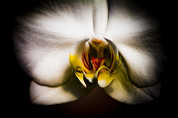 Floral Photograph - Dark Orchid One by John Ater
