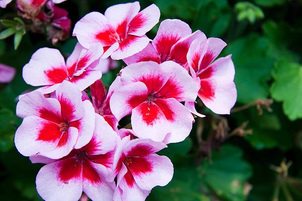Dark pink flowers photograph by jamie doyle dark pink photograph dark pink flowers by jamie doyle mightylinksfo