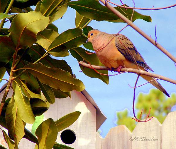Birds Photograph - Darling Dove  by Patricia L Davidson
