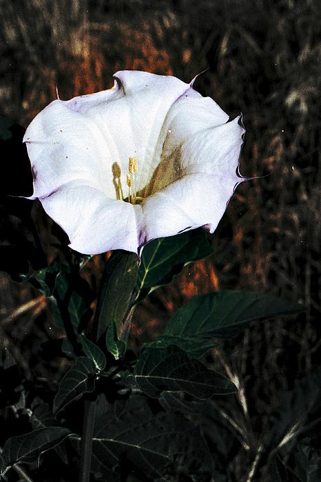 Datura Photograph - Datura Blossum by Richard Henne