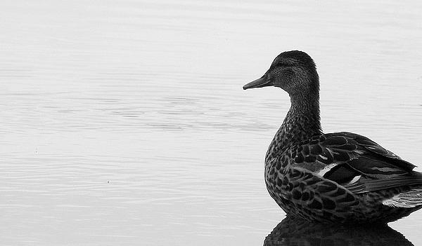 Bird Photograph - Decoy by Ed Smith