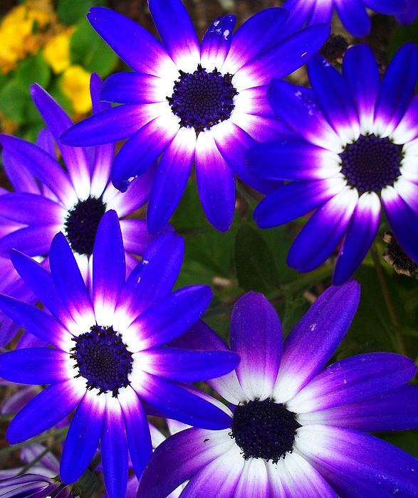 Purple Daisy Flower: Deep Purple Daisies Photograph By Flower Bomb