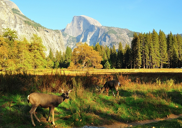 Horizontal Photograph - Deer And Half Dome by Sandy L. Kirkner