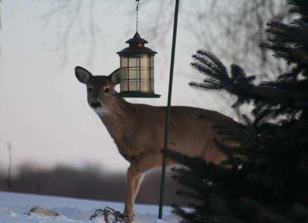 Wild Life Photograph - Deer At A Bird Feeder by Magi Yarbrough