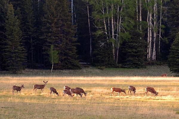 Deer Photograph - Deer At Kaibab Meadows by Neil Doren