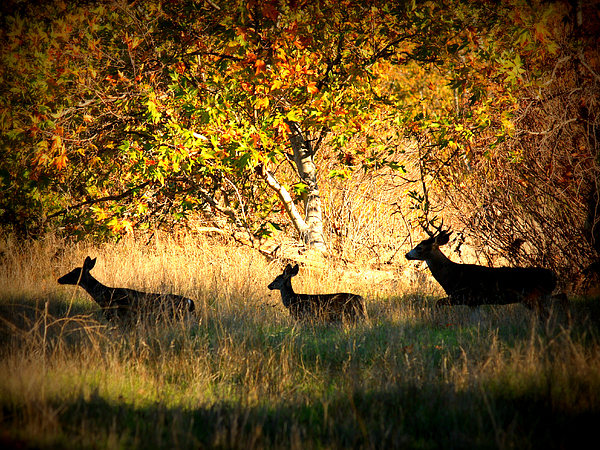 Landscape Photograph - Deer Family In Sycamore Park by Carol Groenen
