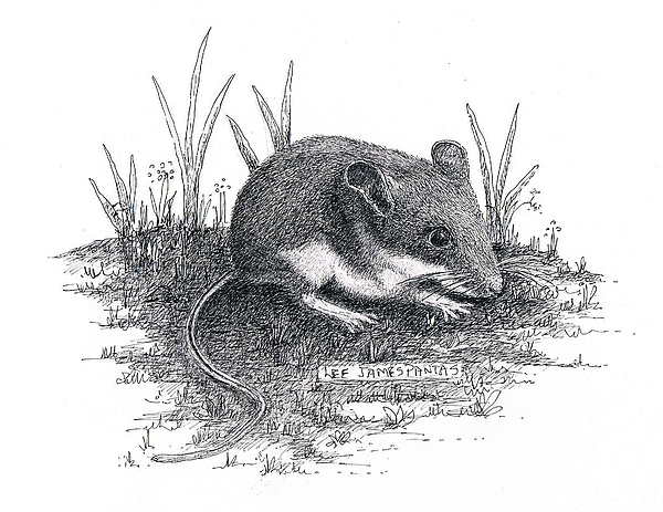 Mouse Drawing - Deer Mouse by Lee Pantas