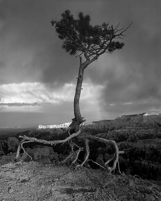 Tree Photograph - Defiant by William Gillam