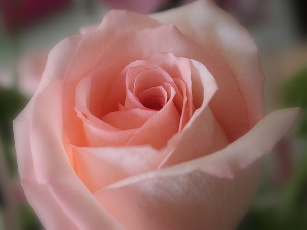 The Power Of Pink Photograph - Delicate Pink Rose by Carol Groenen