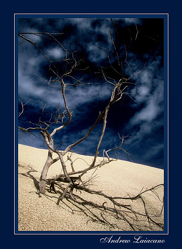 Landscape Photograph - Desert Tree by Andrew Laiacano