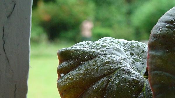 Dewdrops On Leafy Platters Photograph by Abir Bordoloi