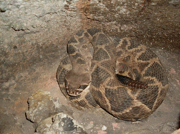 Diamondback Rattlesnake Photograph - Diamondback Rattlesnake by Warren Thompson