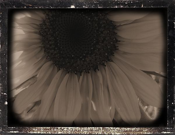 Sunflower Photograph - Diatrop Three Quarter Sunflower by Sonya Chalmers
