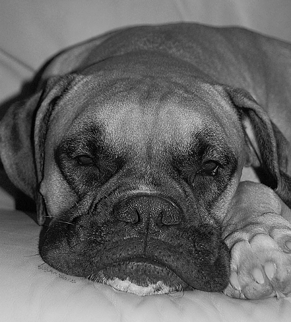Boxer Photograph - Disturbing His Nap by DigiArt Diaries by Vicky B Fuller