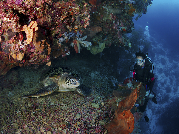 Diver Photograph - Diver And Sea Turtle, Manado, North by Mathieu Meur