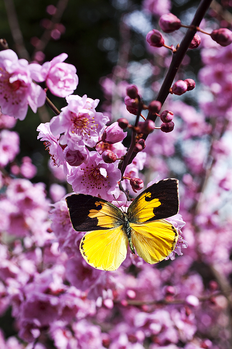 Flowers Photograph - Dogface Butterfly In Plum Tree by Garry Gay