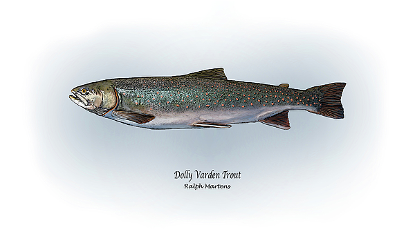 Dollyvarden Painting - Dolly Varden Trout by Ralph Martens