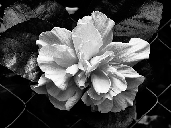 Flower Photograph - Double Hibiscus Flower Black White Print by Kathy Daxon
