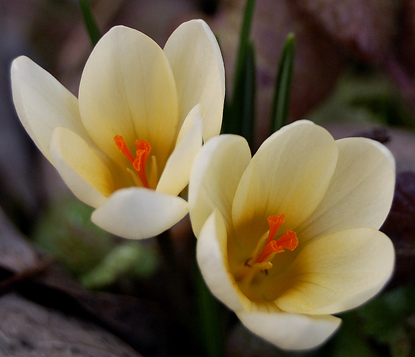 Flowers Photograph - Double Vision by Steven Milner